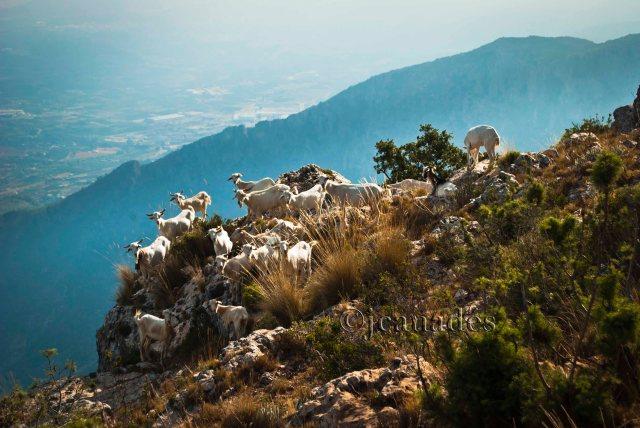 Cabres pasturan